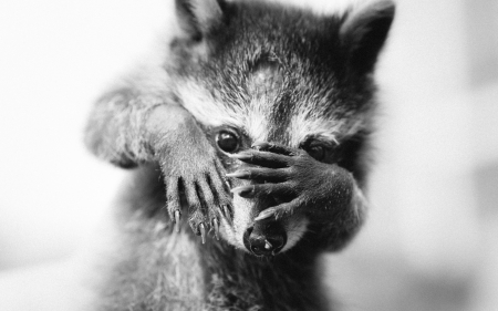 Oh, no! - cute, black, funny, white, raccoon, animal