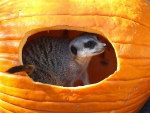 MEERCAT IN PUMPKIN