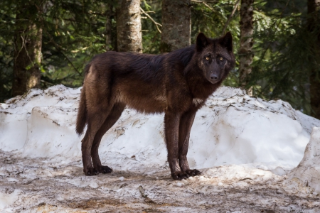 Canadian black wolf - ...