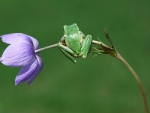 GREEN FROG ON PURPLE FLOWER
