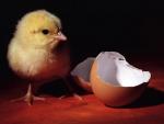 baby chick hatchery