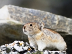Pika Collier (Collared Pika)