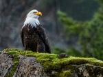 Birds Eagles