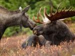 Alaskan moose pair