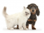 white kitten and Dachshund puppy