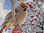 Bright Bird Waxwing