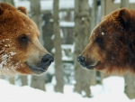 couple of brown bears