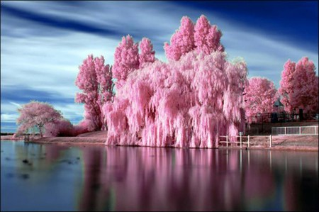 Bubblegum Trees - pink tree, bubblegum, lake, bubblegum trees, lakeside, bubblegum tree, pink trees, tree