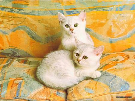 Two of a kind - white kittens, cats, lounge cushions