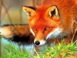 WILD REDHEAD FOX