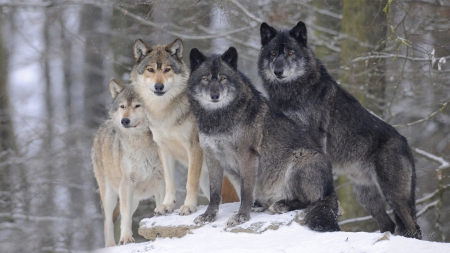 Timber Wolves of Canada - forest, snowing, snow, wild, wolf, wolves, winter