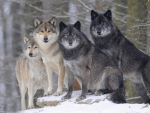 Timber Wolves of Canada