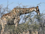 giraffe eating from a tree