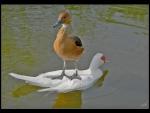 Stupid duck?
