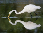 The White Siberian Crane
