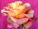 Peach of Pink Rose