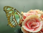 Butterfly on Roses