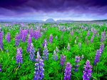 LUPINUS FIELDS from ICELAND
