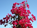 Red flowers bugainvillea