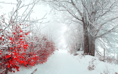 Touch of Red - red, flowers, snow, winter