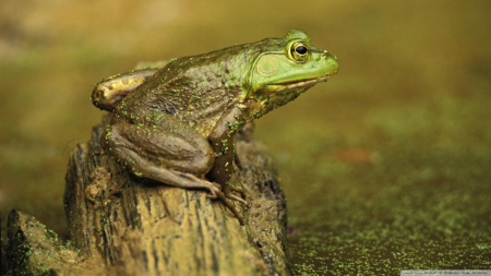 green frog on stump - pond, frog, green, stump