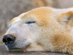 White bear polar