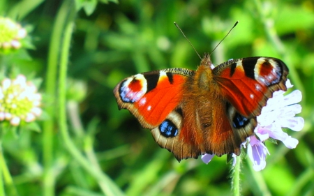 Butterfly - flowers, wings, Butterfly, animal