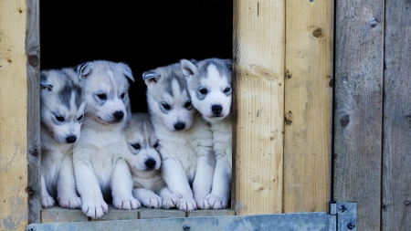 Husky Puppies - family, cute, puppies, husky
