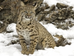 winter snow bobcat