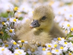 Baby Duckling in Daisies