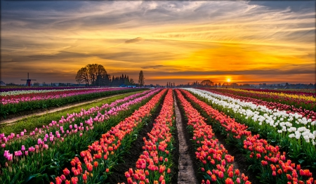 Beautiful tulip field - colors, sunset, tulips, field