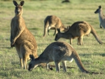 Forrester/Eastern Grey Kangaroo Mob (Troop)