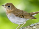 veery kingston annapolis valley nova scotia canada
