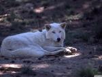 white wolf by dave johnson