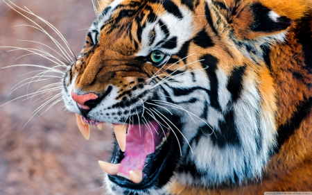 tiger at its best - tigers, cats, animals, wild