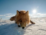 Foxy nose