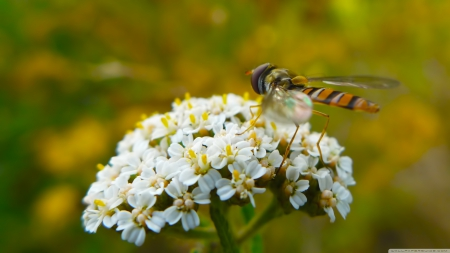 hoverfly on flowers - insect, flowers, white, hoverfly