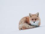 Amazing fox