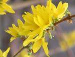 Flowers Forsythia