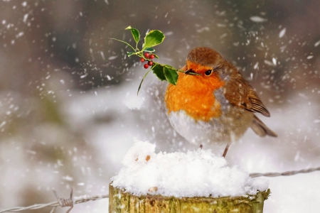 Christmas robin - Christmas, cute, bird, robin, berries, snow, holly, winter