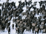 winter elk herd