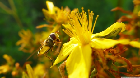 hoverfly - flower, yellow, insect, hoverfly