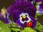 Ladybug On Pansy