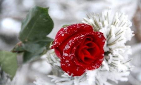 Red rose in snow flowers nature background wallpapers - Rose in snow wallpaper ...