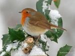 Robin on Winter Branch