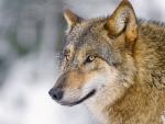 •Wolf•
