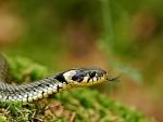 Ringelnatter Snake f