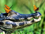 Butterflies on a Caiman 1
