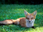 Cute Red Fox f