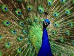 Regal Peacock 1